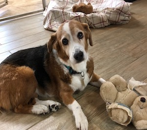 13 year old Beagle/Corgi mix.