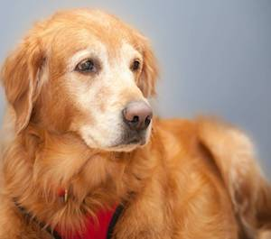 11 year old Retriever